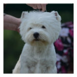 Cute West Highland White Terrier Poster