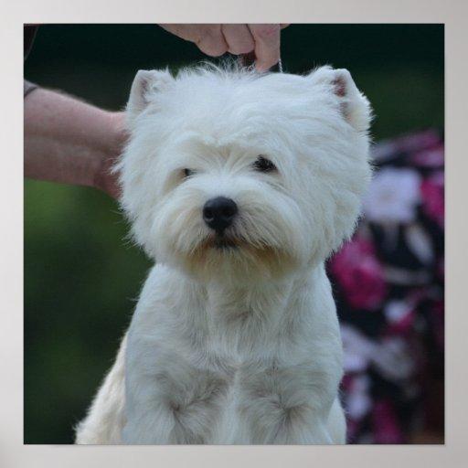 Cute West Highland White Terrier Print