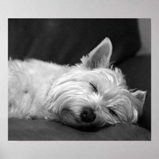 Cute Westie (West Highland Terrier) Dog Poster
