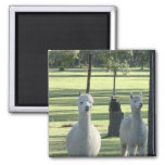 Cute White Alpaca Boys In Green Meadow Full Of Tre 2 Inch Square Magnet