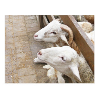 Cute white billy goats postcard