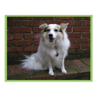 Cute White Dog On Bricks Postcards