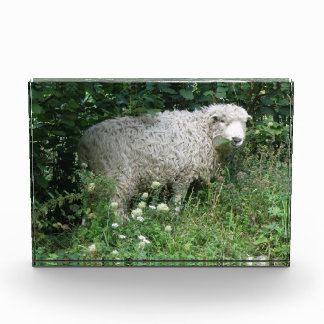 Cute White Fluffy Sheep Eating Photo Block Award