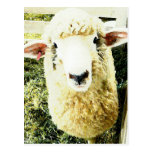 Cute White Fluffy Sheep Post Card