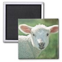 Cute white lamb portrait magnet