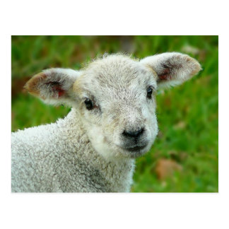 Cute white little lamb postcard
