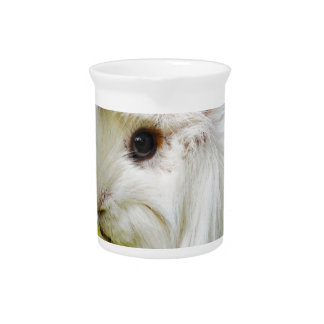 Cute White Long Hair Guinea Pig Eating Apple Beverage Pitcher