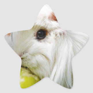 Cute White Long Hair Guinea Pig Eating Apple Star Sticker