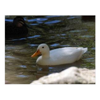Cute White Pekin Duck Swimming In Pond Postcard