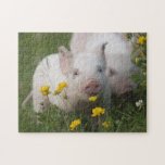 "Cute White Piglets in Yellow Flowers - Baby Animal Jigsaw Puzzle<br><div class=""desc"">Two cute white piglets explore a meadow filled with yellow wildflowers.  Copyright Steven Holt/wildlifehotspots.com.</div>"