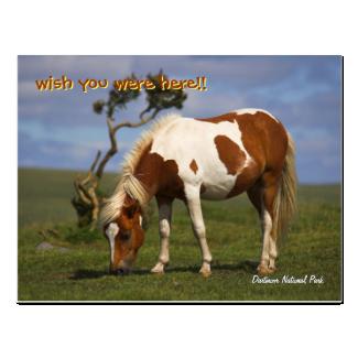 Cute Wild Pony in Dartmoor National Park Postcard