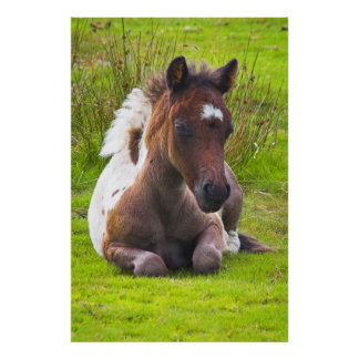 Cute Yearling Foal poster print