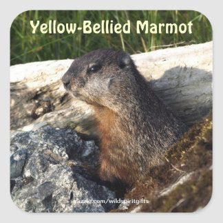 Cute Yellow-bellied Marmot Wildlife Sticker