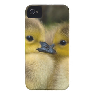 Cute Yellow Fluffy Ducklings, Baby Ducks iPhone 4 Cover