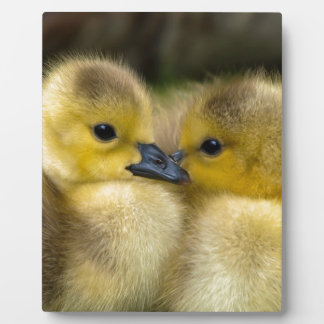 Cute Yellow Fluffy Ducklings, Baby Ducks Plaque