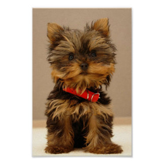 Cute Yorkshire Terrier Poster