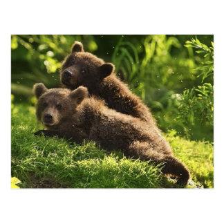 Cute Young Brown Bear (Ursus arctos) Postcard