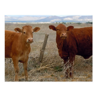 Cute Young Red Cows - Western Postcard