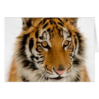 Cute Young Tiger Picture Card