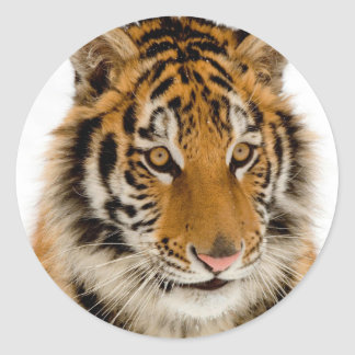Cute Young Tiger Picture Classic Round Sticker