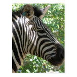 Cute Zebra Postcard