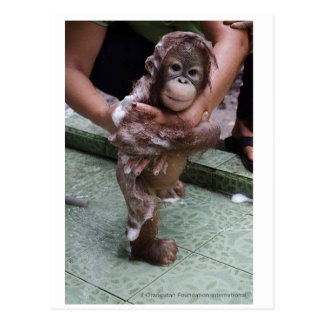 Cutest Baby Ever - Orangutan Orphan Postcard
