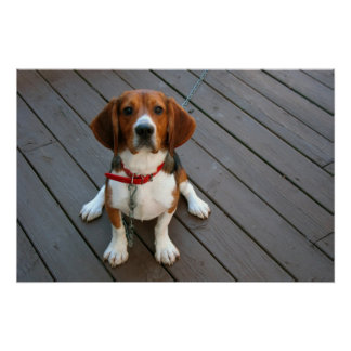 Cutest Beagle Dog Ever Poster