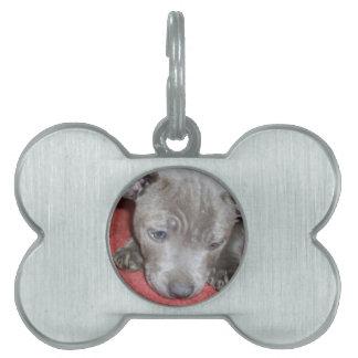 Cutest_Blue_Staffy_Puppy,_Bone_Dog_Tag Pet Name Tag
