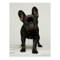 Cutest French Bulldog Puppy Postcard