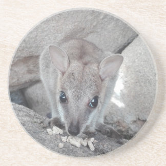Cutest wallaby just staring at you and eating coaster