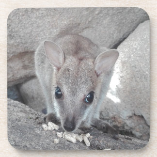 Cutest wallaby just staring at you and eating drink coaster
