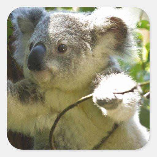 Cutie de la koala calcomanía cuadradas personalizadas