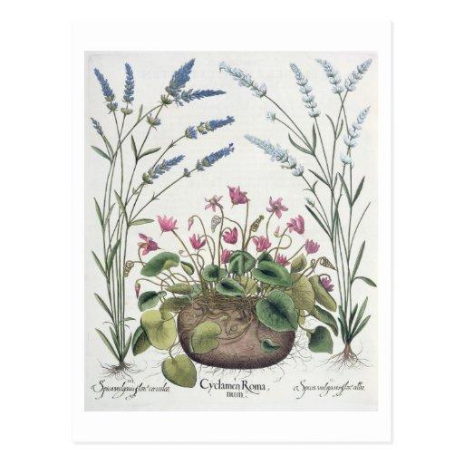Cyclamen and Lavender: 1.Cyclamen Romanum; 2.Spica Post Cards
