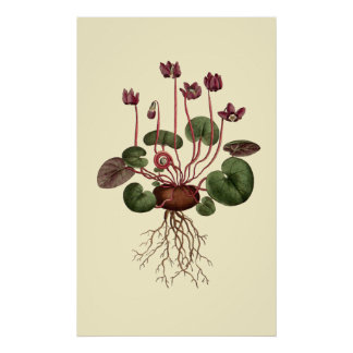 Cyclamen floral póster