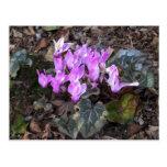 Cyclamens en primavera tarjeta postal