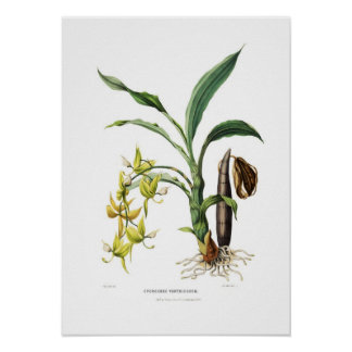 Cycnoches ventricosum by Miss Drake. Posters