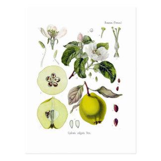 Cydonia vulgaris (membrillo) tarjetas postales