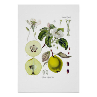 Cydonia vulgaris (Quince) Poster