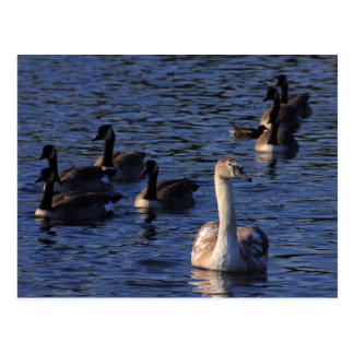 Cygnet and Geese Postcard