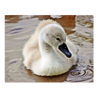 Cygnet Mute Swan Postcard