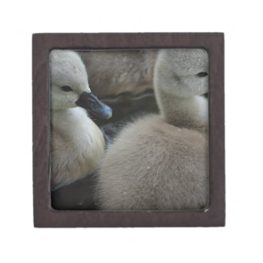 cygnets in grey premium gift boxes