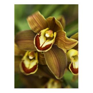 Cymbidium Orchid Postcard