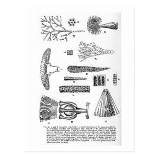 Cymopolia barbata art postcard