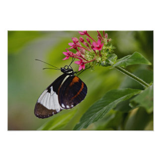 Cyndo Longwing, Heliconius cyndo, native to Poster