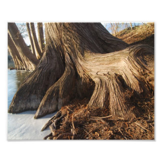 Cypress Roots Photo Print