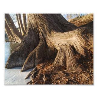 Cypress Roots Art Photo