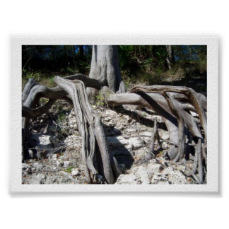 Cypress Tree Roots on the Suwannee River Poster