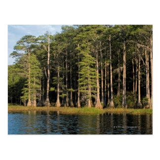 Cypress trees in Lake Bradford Region , 2 Postcard