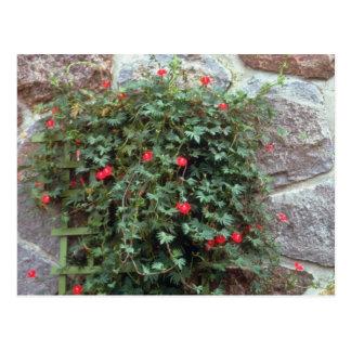 Cypress Vine (Ipomoea Quamoclit) flowers Postcard