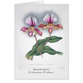 Cypripedium hybrid (P. spicerianum x P. villosum ) Card